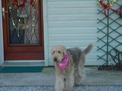 Abby, chien Airedale Terrier