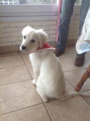 Abby, chien Golden Retriever