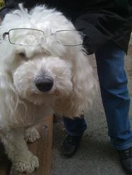Abby, chien Caniche