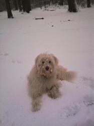 Abby, chien Berger des Pyrénées