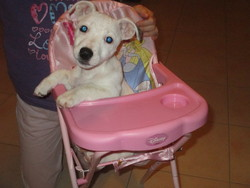 Abby, chien Jack Russell Terrier