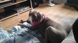 Abby, chien Braque de Weimar