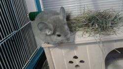 Abby, rongeur Chinchilla