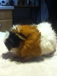 Abby, rongeur Cochon d'Inde