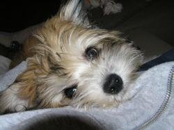 Abby, chien Chien chinois à crête