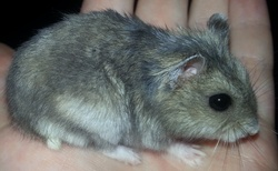 Abbygaëlle, rongeur Hamster