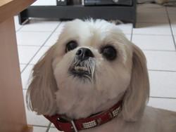 Abèle, chien Shih Tzu