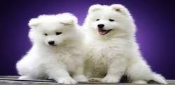 Aberdeen Terrier, chien