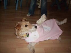 Abi, chien Fox-Terrier
