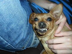Abi, chien Pinscher