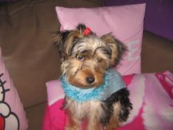 Abiah , chien Yorkshire Terrier