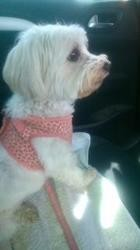 Abie, chien Cavalier King Charles Spaniel