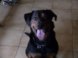 Abie, chien Beauceron