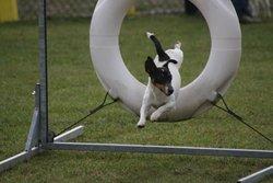 Abir, chien Jack Russell Terrier