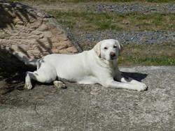 Abyse, chien Labrador Retriever