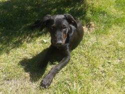 Abou, chien Labrador Retriever