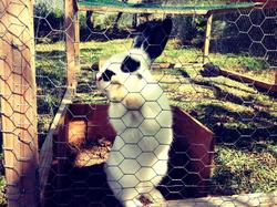 Snoopy , rongeur Lapin