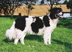 Abricot, chien Chien d'eau frison