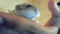 Abricot, rongeur Hamster