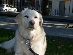 Absynthe, chien Labrador Retriever