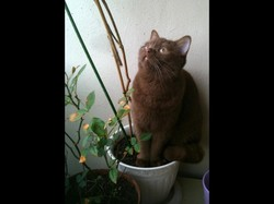Aby, chat British Shorthair