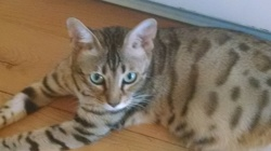 Aby, chat Bengal