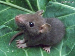 Aby, rongeur Rat