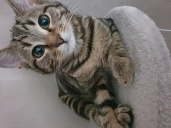 Aby, chaton Européen