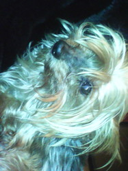 Abyss, chien Yorkshire Terrier