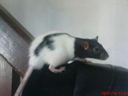Stitch, rongeur Rat