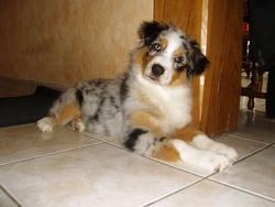 Fany, chien Berger australien