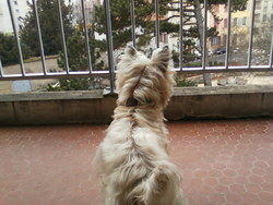 Rambo, chien Yorkshire Terrier