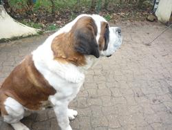 Varenne, chien Saint-Bernard