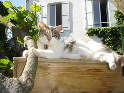 Pastille, chat Européen