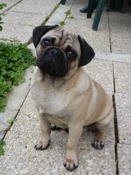 Feurby, chien Carlin