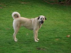 Dinah, chien Berger d'Anatolie