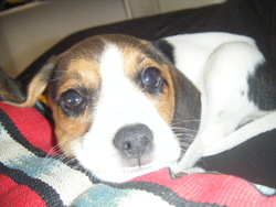 Duffy, chien Beagle