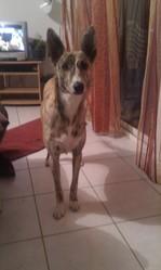 Diosa, chien Lévrier espagnol