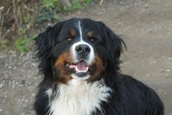 Ckiara, chien Bouvier bernois