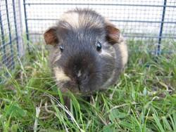 Penny, rongeur Cochon d'Inde