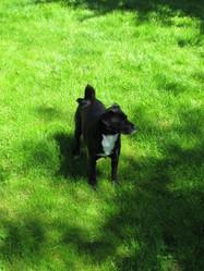 Acacia, chien