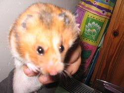 Accacia, rongeur Hamster