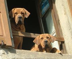 Ursella Et Uma, chien Fila brasileiro