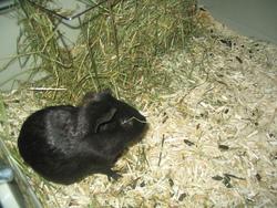Oreo, rongeur Cochon d'Inde