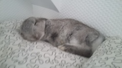 Ace, rongeur Lapin