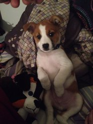 Ace, chien Jack Russell Terrier