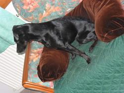 Vanille, chien Jagdterrier