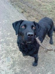 Achil, chien Labrador Retriever
