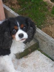 Achile, chien Cavalier King Charles Spaniel