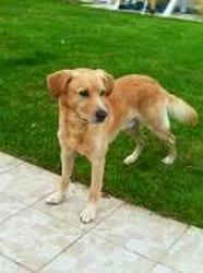 Achile, chien Golden Retriever